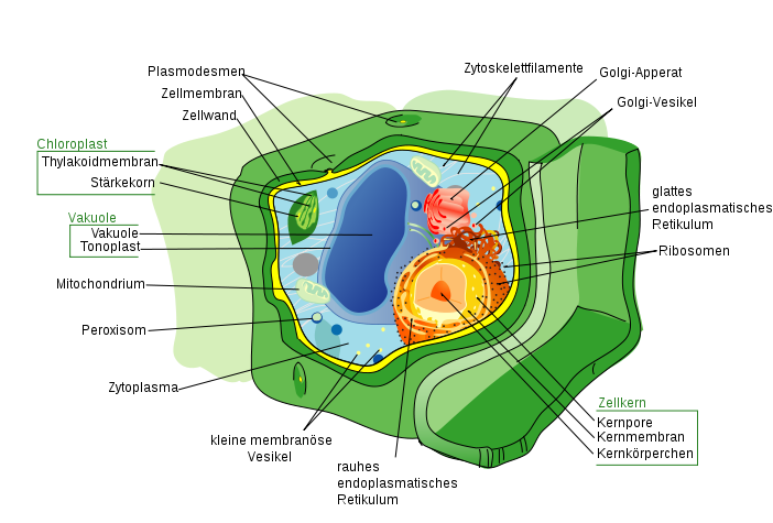 Zelle des Menschen